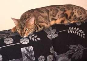 В Нижнекамске нашедшему кота обещают вознаграждение в размере 50 тыс рублей