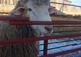 В агрофирме «Кармалы» под Нижнекамском разводят новую породу овец «Татарстанская»