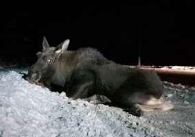 В Нижнекамске лося сбил автомобиль