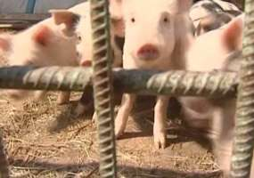 В Нижнекамском районе двое мужчин похитили поросят из свинокомплекса
