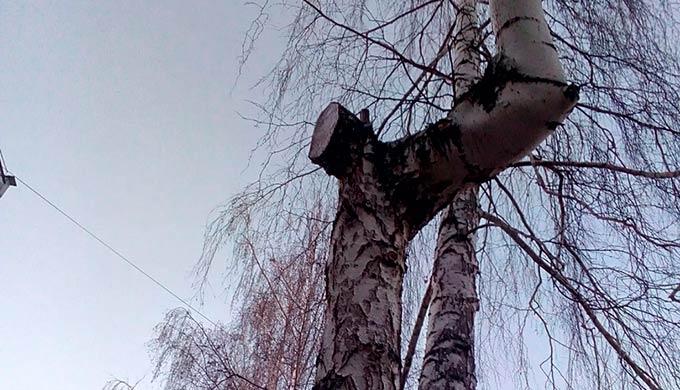 """""""Льет, как из ведра"""": в Нижнекамске после санитарной обрезки """"плачут"""" березы"""
