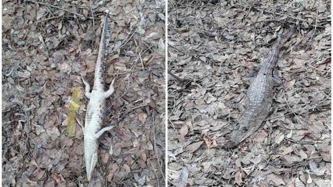 В лесу в Оренбургской области найдено тело молодого крокодила
