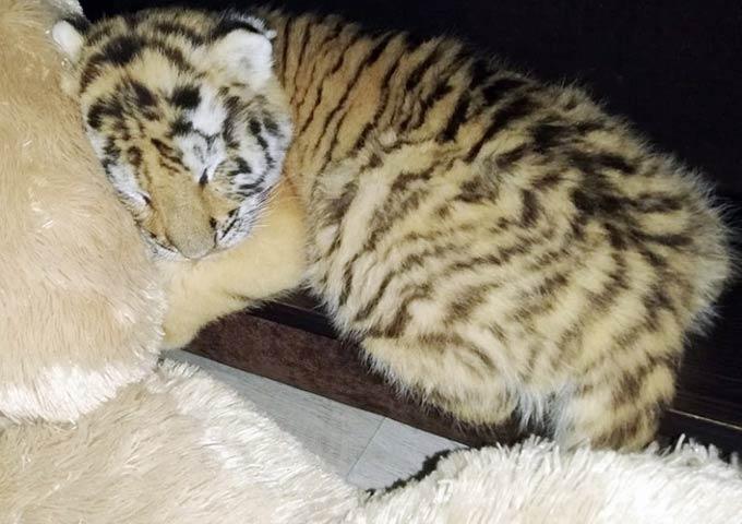 Нижнекамские волонтеры собирают деньги на лечение слепого тигренка Луна