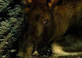 Участниками ДТП в Нижнекамске все чаще становятся лоси