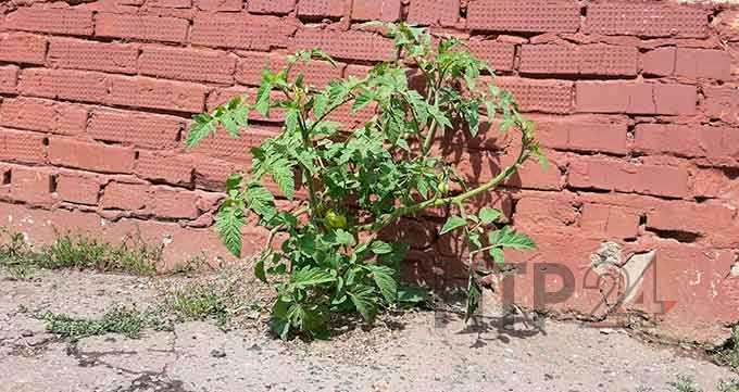 Нижнекамцы активно обсуждают в соцсетях обыкновенный помидор