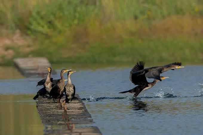 В окрестностях Нижнекамского района замечены редкие морские птицы – черные «гуси»