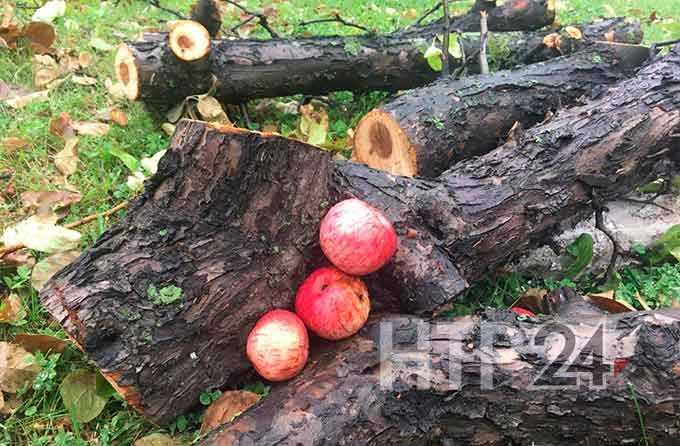 На центральном проспекте Нижнекамска появится молодой яблоневый сад