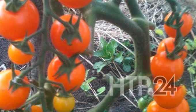 В Нижнекамском районе будут перерабатывать помидоры и огурцы