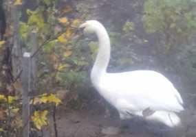 В Нижнекамске дачники обнаружили на одном из участков лебедя