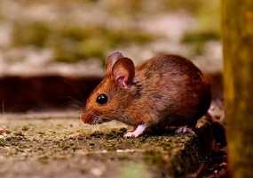 В Нижнекамске на борьбу с мышами и крысами направят более 1 млн рублей