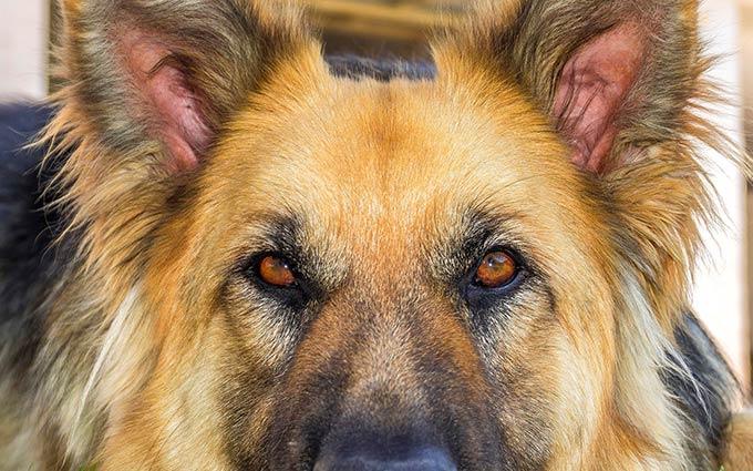 Преданный пес не пустил врачей к своему умирающему хозяину