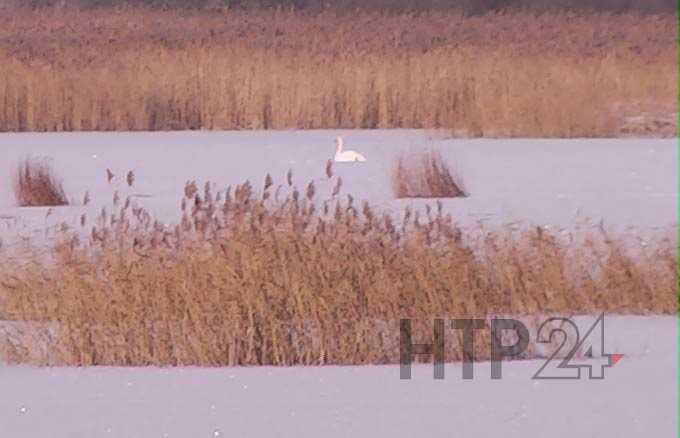 В Нижнекамске лебедь отбился от стаи сородичей