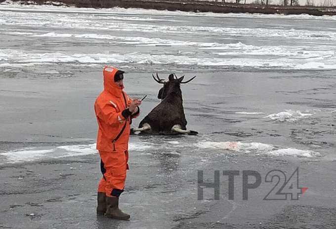 В Нижнекамском районе в полынью провалился лось