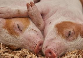 Рядом с Татарстаном выявлены очаги африканской чумы свиней