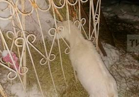 Татарстанские спасатели вызволили козу из железного капкана
