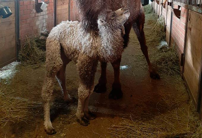 Верблюжонок родился в татарстанском зоопарке