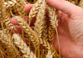 Пшеница стала дороже нефти