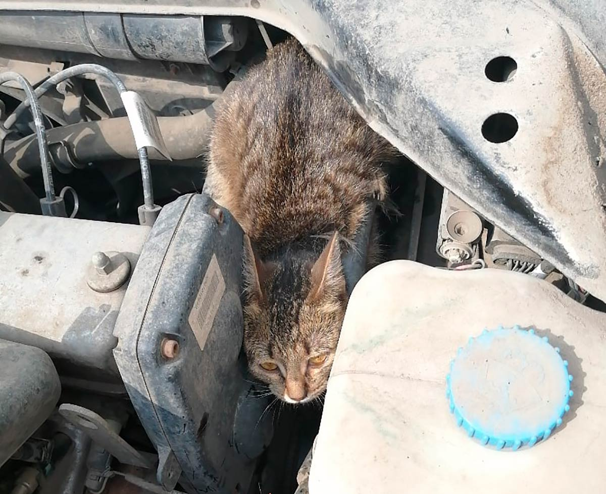 В Нижнекамске кошка осталась без лапы, попав под капот автомобиля